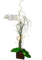 Orquidéa phalaenopsis  Branca