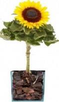 Girassol Plantado