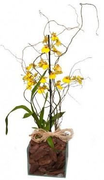 Oncidium Plantado